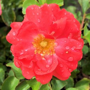 Rose Drift® Coral
