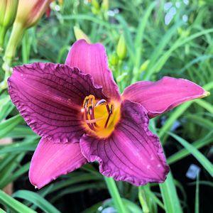Daylily Purple D'Oro