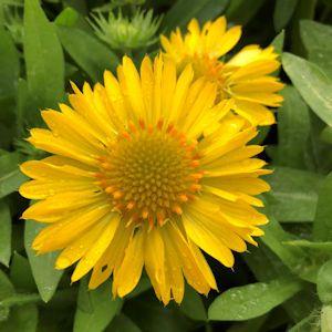 Blanket Flower Mesa Yellow