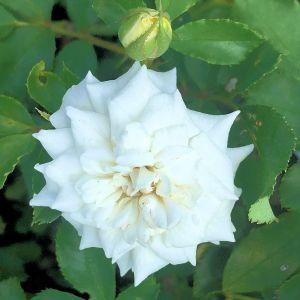 Rose Drift® White