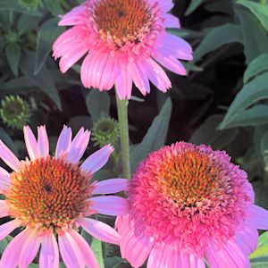 Coneflower Cone-fections™ 'Butterfly Kisses'