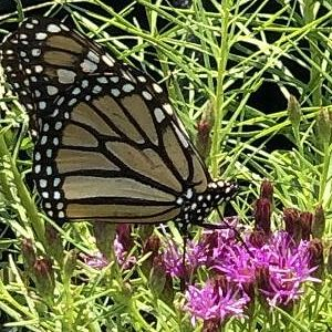 Ironweed 'Iron Butterfly'