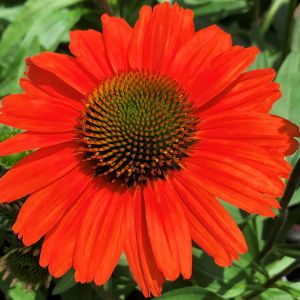 Coneflower KISMET® Intense Orange