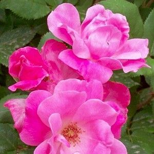 Rose Pink Knock Out®