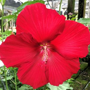 Hardy Hibiscus Lord Baltimore