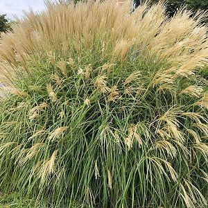 Maiden Grass Gracillimus