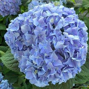 Hydrangea Nikko Blue