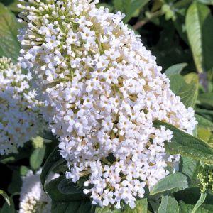 Butterfly Bush Pugster White®