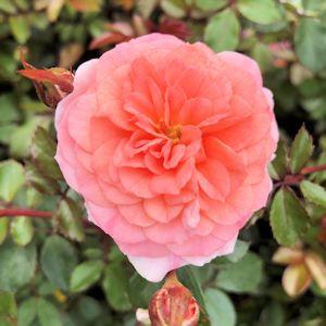 Rose Drift® Apricot