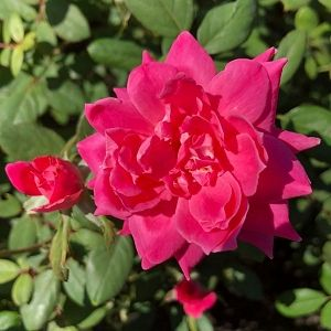 Rose Double Pink Knock Out®