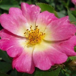 Rose Drift® Pink