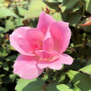 Rose Blushing Knock Out®