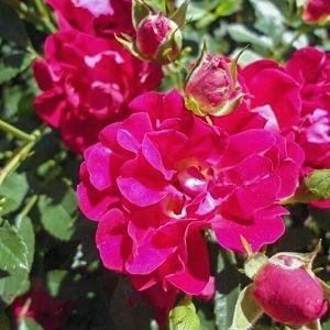 Rose Drift® Red