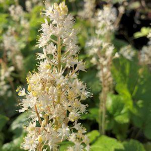Foamflower Brandywine